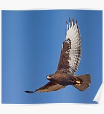 Dark morph Ferruginous Hawk Poster