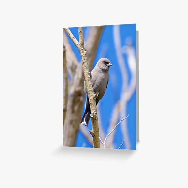 SWALLOW ~ Dusky Woodswallow 7396X5NH by David Irwin Greeting Card