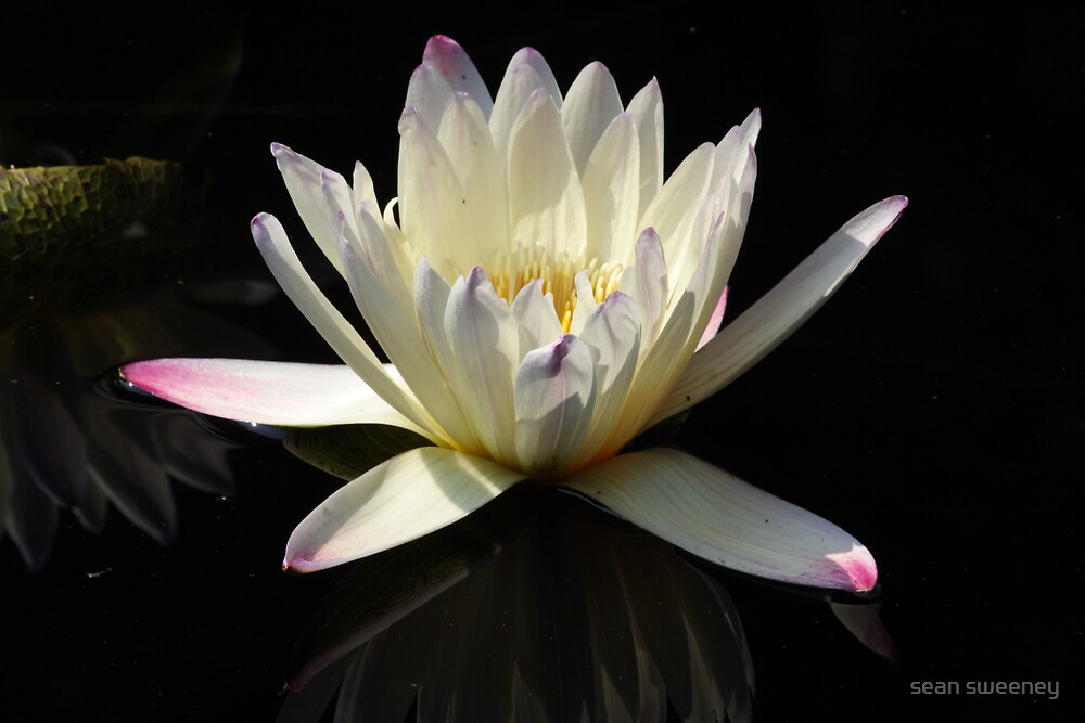 WHITE WATER LILLY 3 by sean sweeney