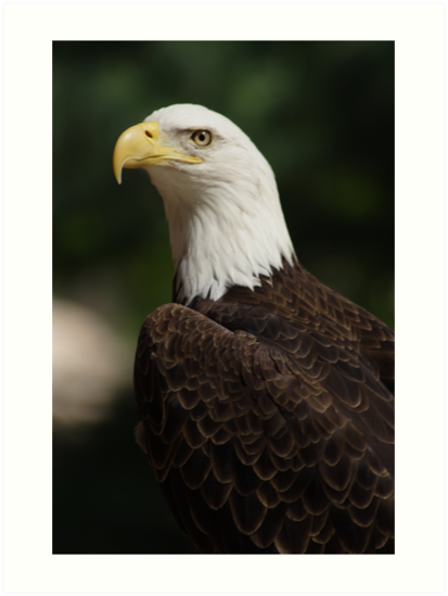 BALD EAGLE 2 by sean sweeney