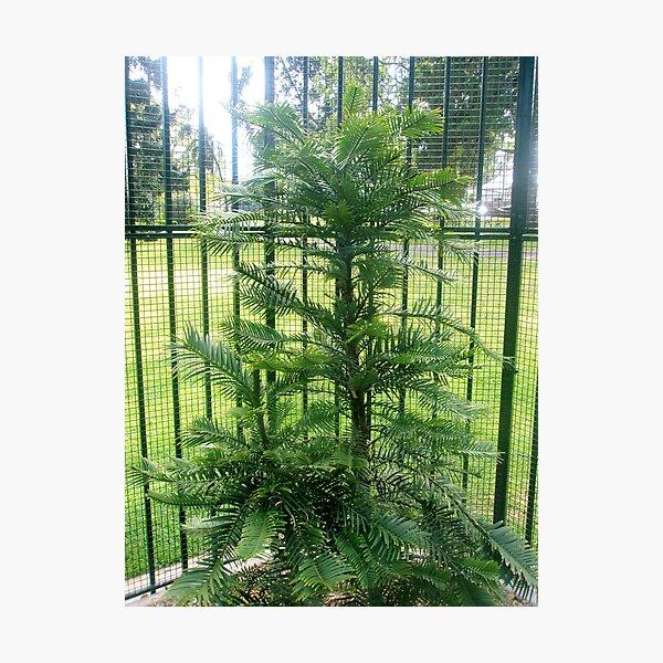 Wollemi Pine Photographic Print