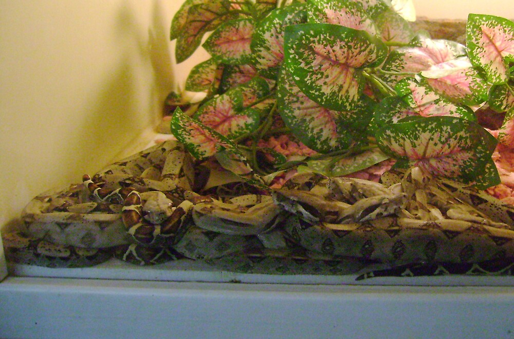 How Many Boas Can You Count? by Sheri Scherbarth