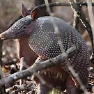 Armadillo on alert by Kate Farkas