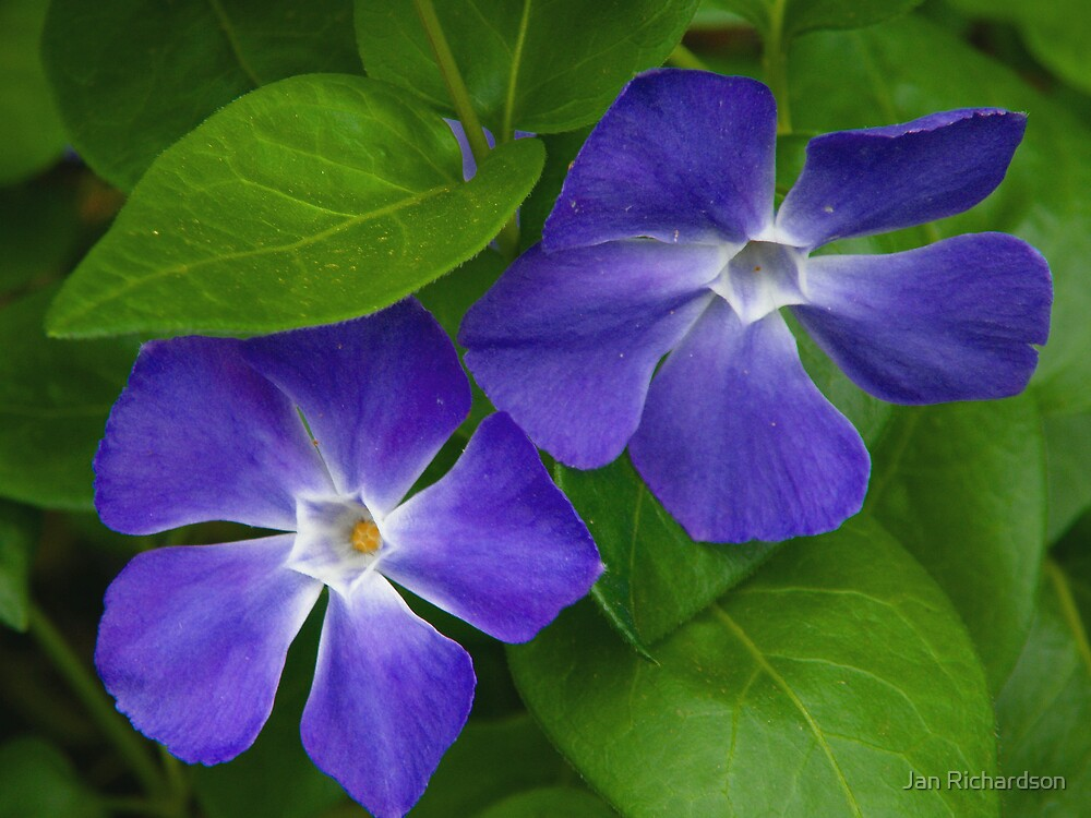 Blue Periwinkle by Jan Richardson