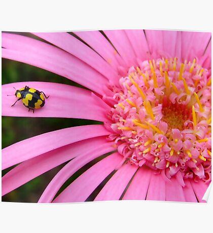 Pink Gerbera with yellow ladybug Poster