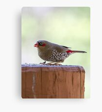 Red-eared Firetail Canvas Print
