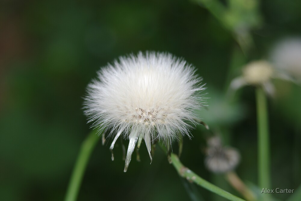 Solitary Dandelion  by Alex Carter