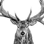 Red Deer - On White by George Wheelhouse