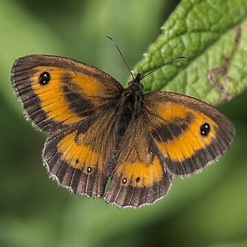 Gatekeeper Butterfly (IV) by DonMc