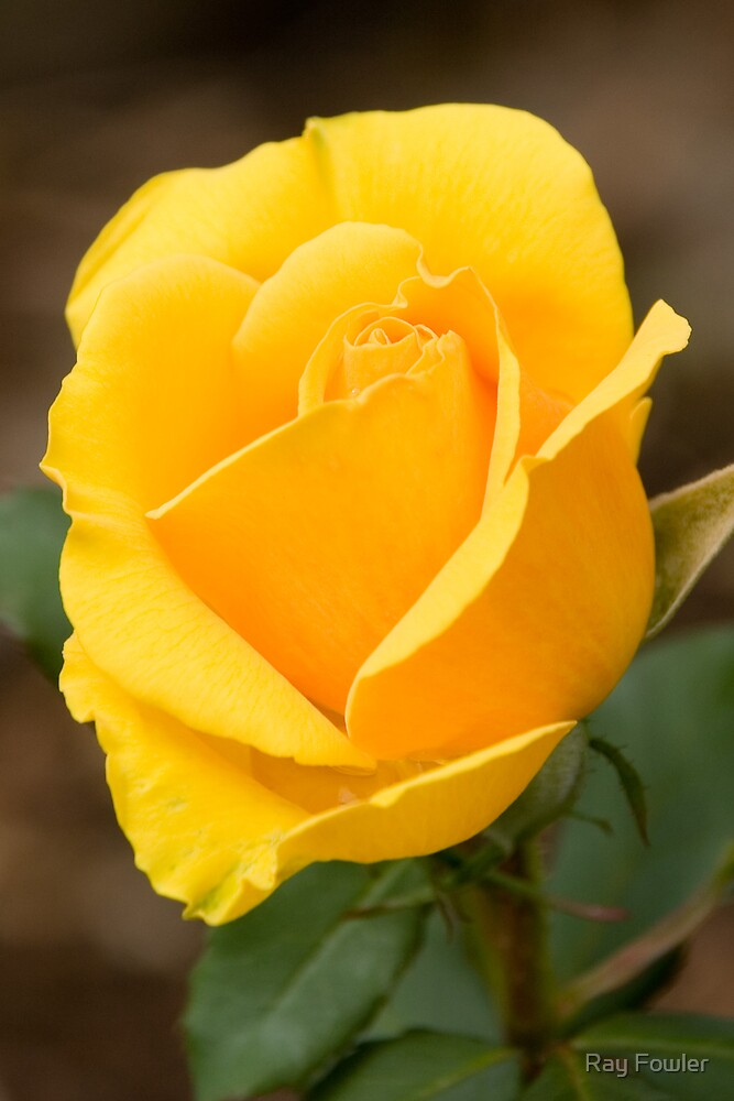Yellow Rose #2 by Ray Fowler