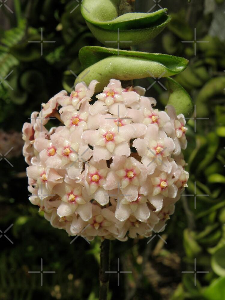 Hoya ball of flowers by CapturedByKylie