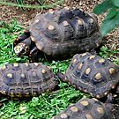 Red Footed Tortoise by AnnDixon