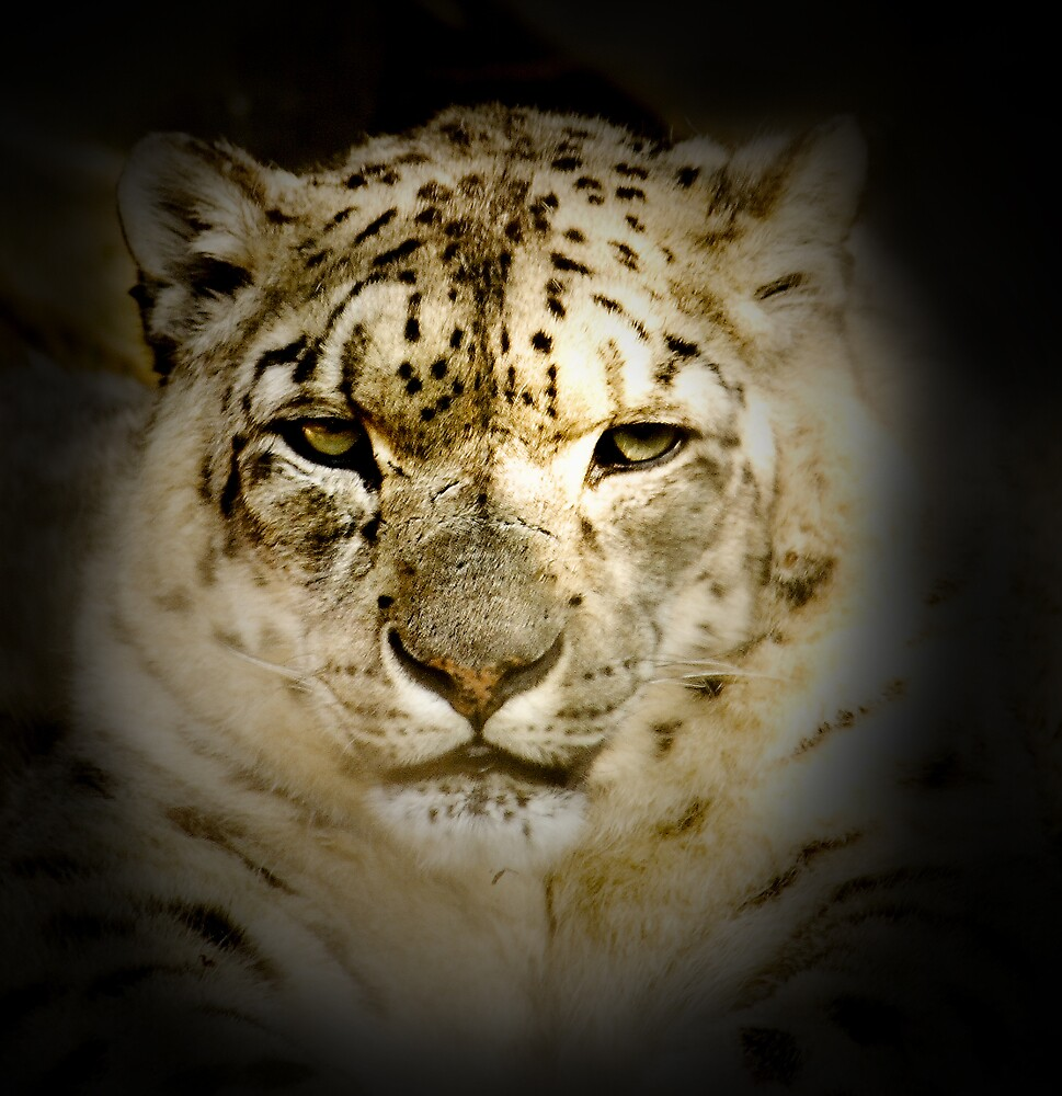 Snow Leopard by Kerry Duffy