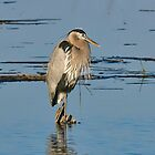 Great Blue Heron Looking Pretty by TJ Baccari Photography