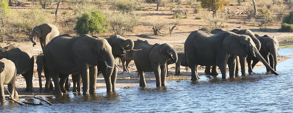 Elephants - Chobe National Park, Botswana, July 2008 by Sarah Doornbusch