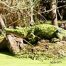 Duckweed Gator by Jeff Ore