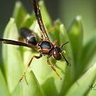 Wasp Macro by Vincent Vartorella