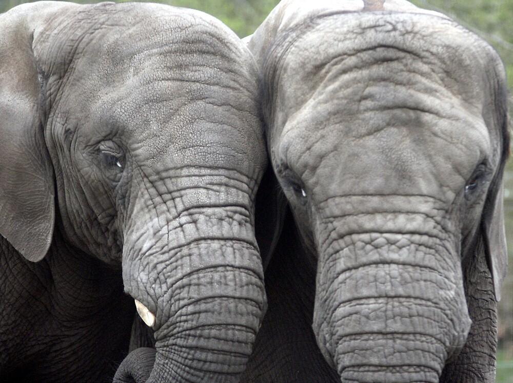 Two elephants by fionajean
