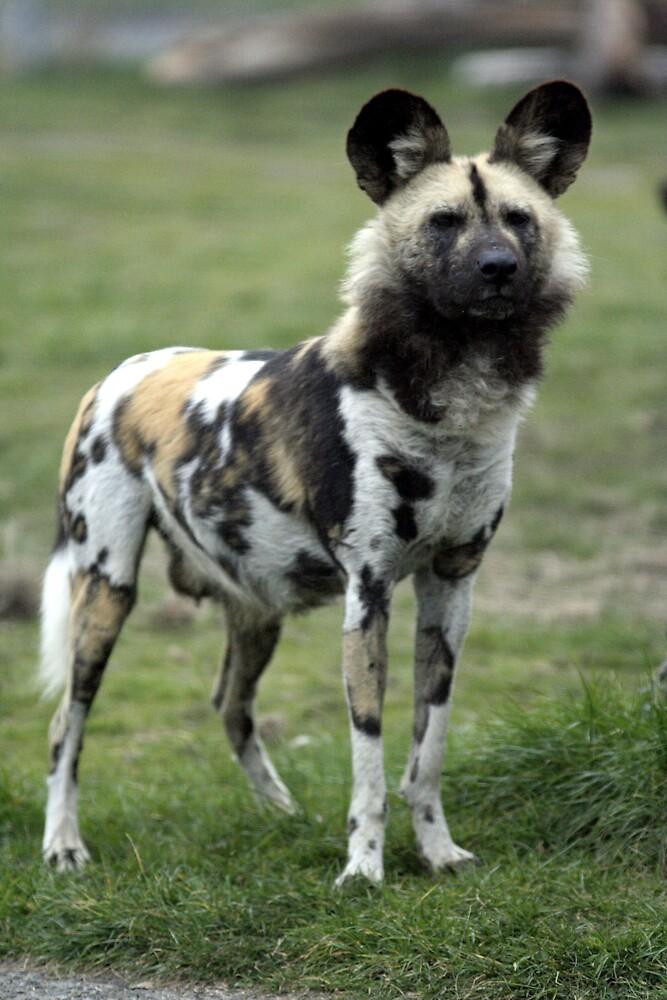 Wild dog by fionajean