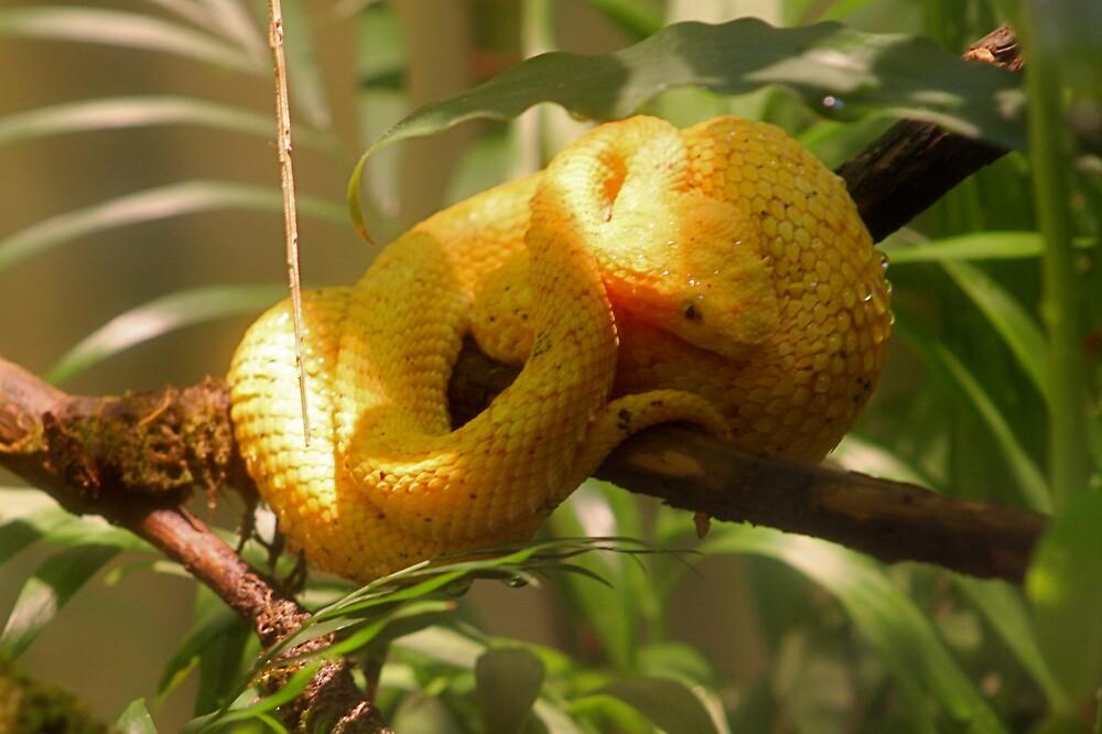Eyelash Viper by IanPharesPhoto