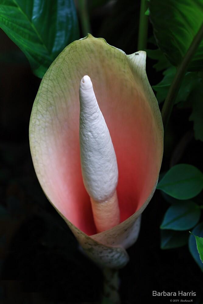 Snake Plant Flower-6212  (Amorphophallus bulbifer) by Barbara Harris