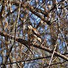 Hawk In A Tree by Rick  Friedle