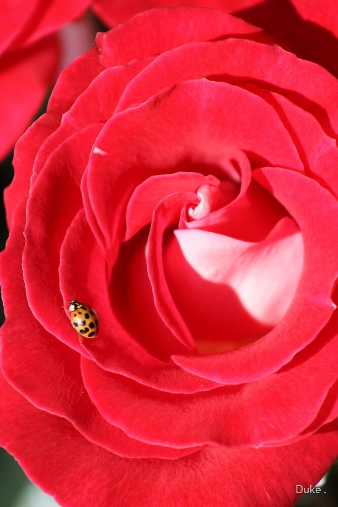 Lady Bug by Duke .