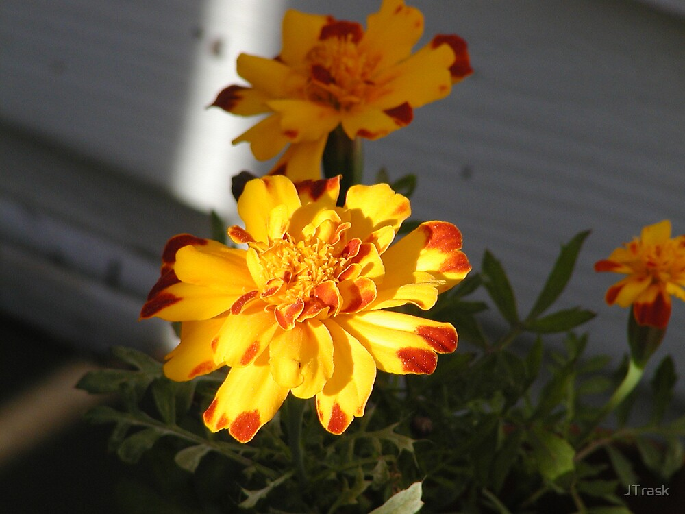 Marigold (I think) by JTrask