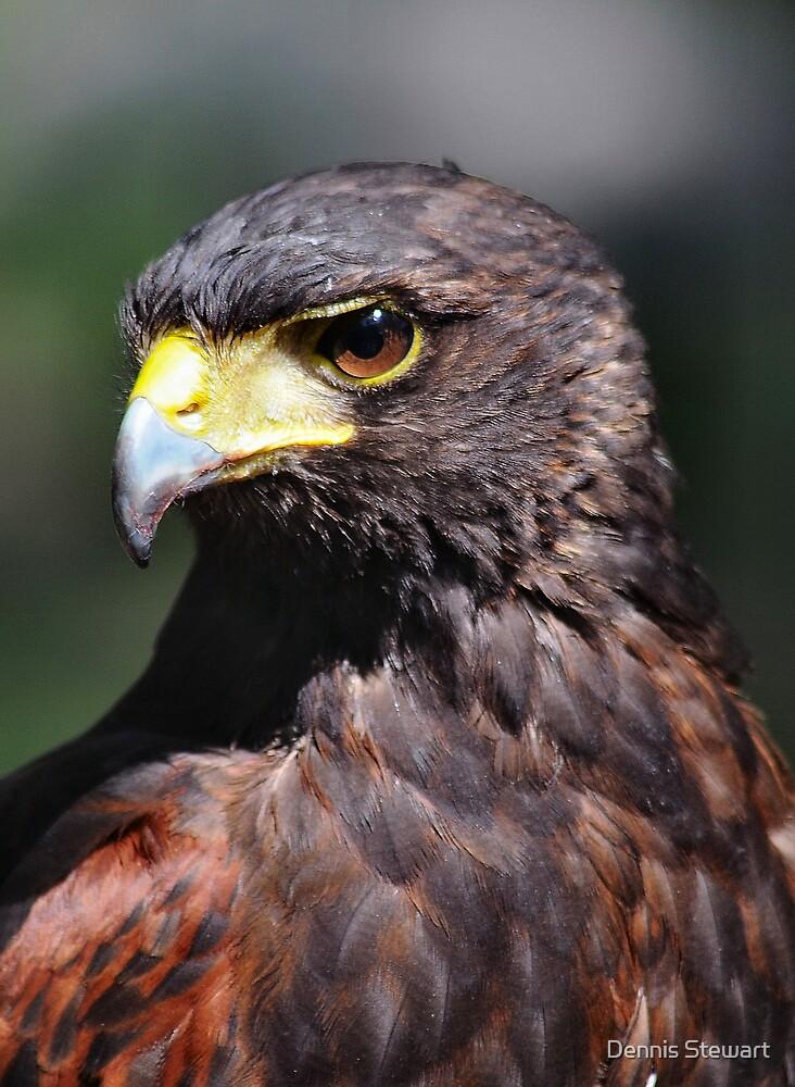 Harrier Hawk by Dennis Stewart