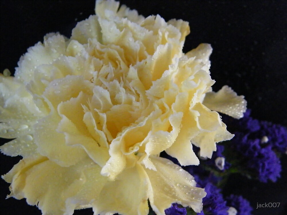 White carnation  by jack007