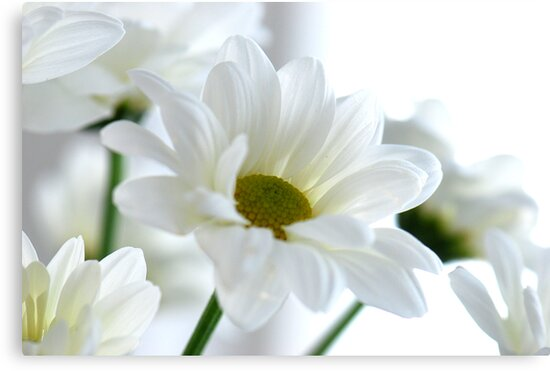 Glowing white Daisies by Extraordinary Light
