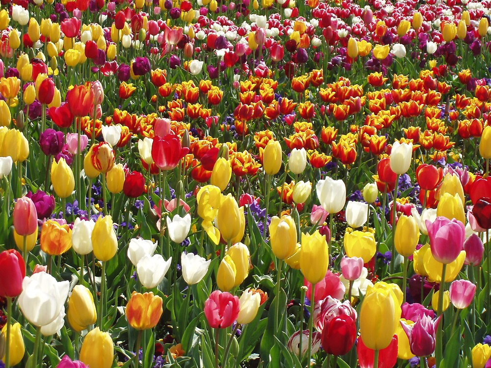 Tulips by paulamichelle