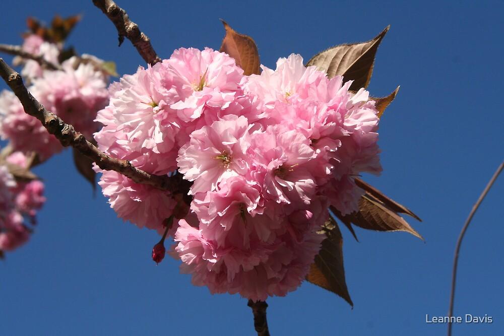 Cherry Blossom by Leanne Davis