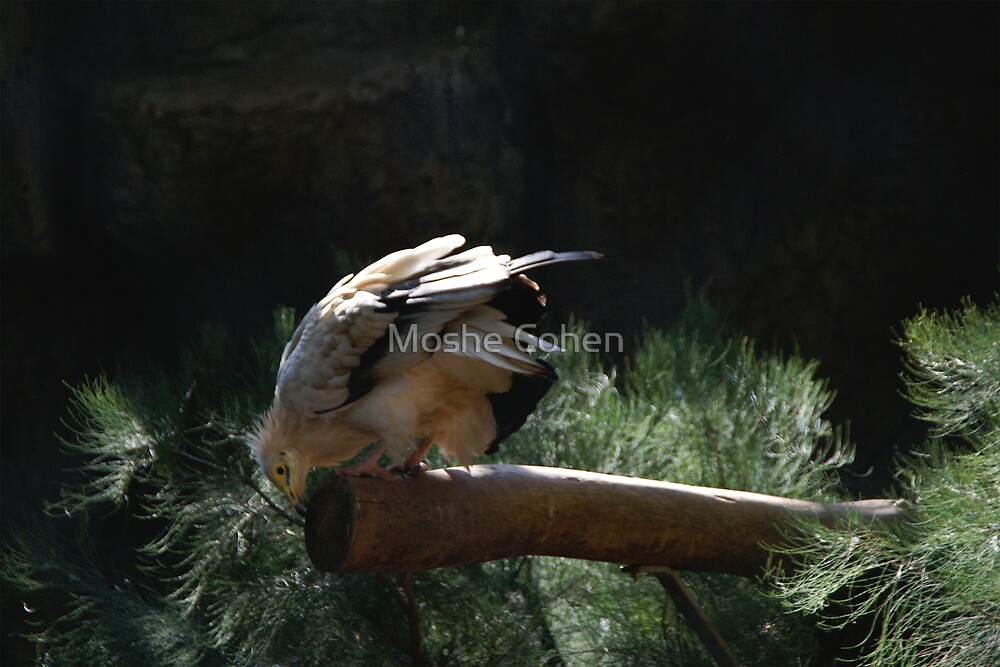 A bird by Moshe Cohen