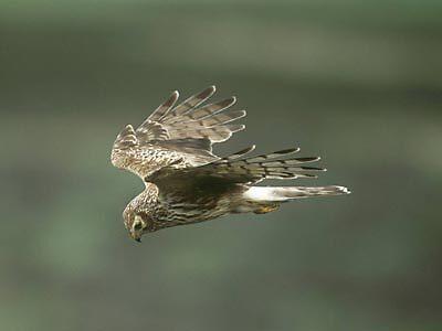 Hen Harrier by AA Fer