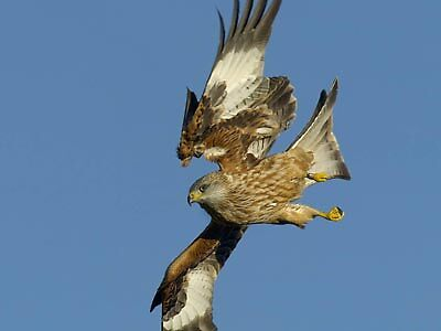 Red Kite  by AA Fer