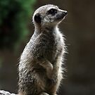 Meerkat by Roddy Atkinson