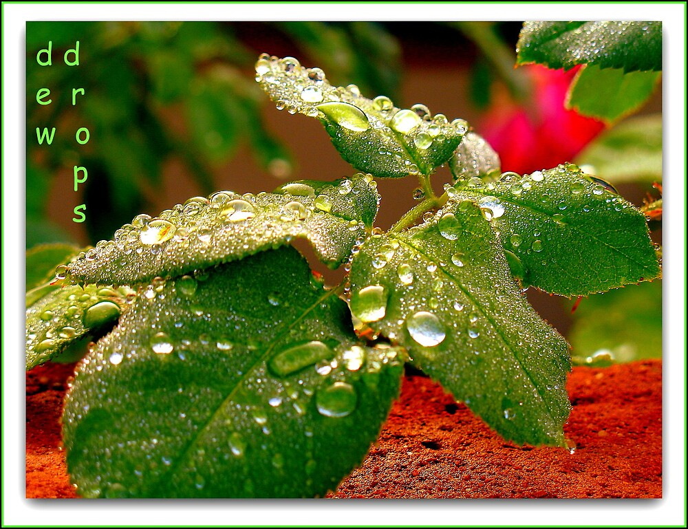 Dew Drops by Terry Temple