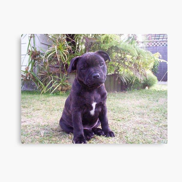 staffordshire bull terrier puppy Metal Print