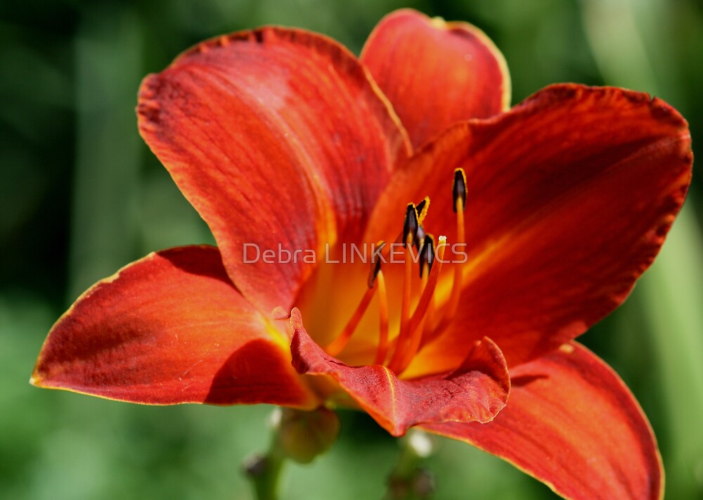 lily  by Debra LINKEVICS