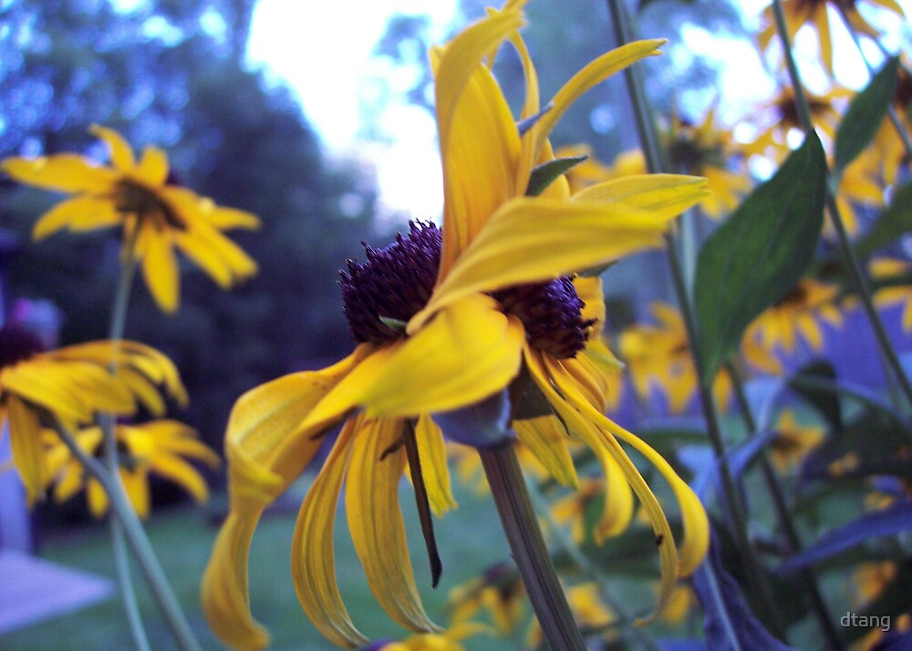 one stem double black eyed susan. by dtang