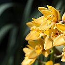 Yellow orchids by Manon Boily