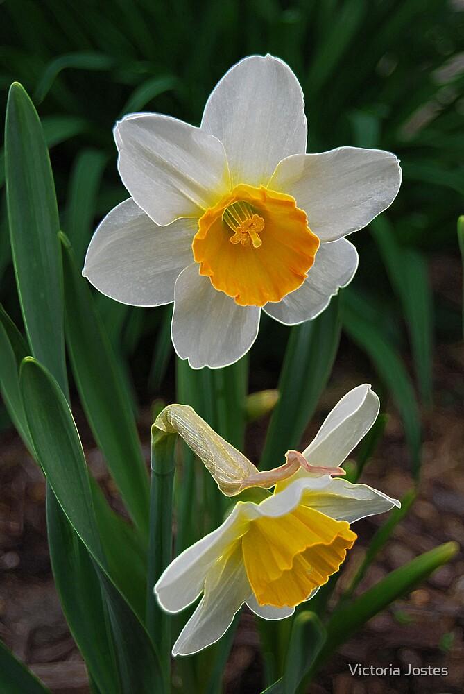 Daffodils by Victoria Jostes