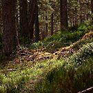 Highland woodland by mpstone