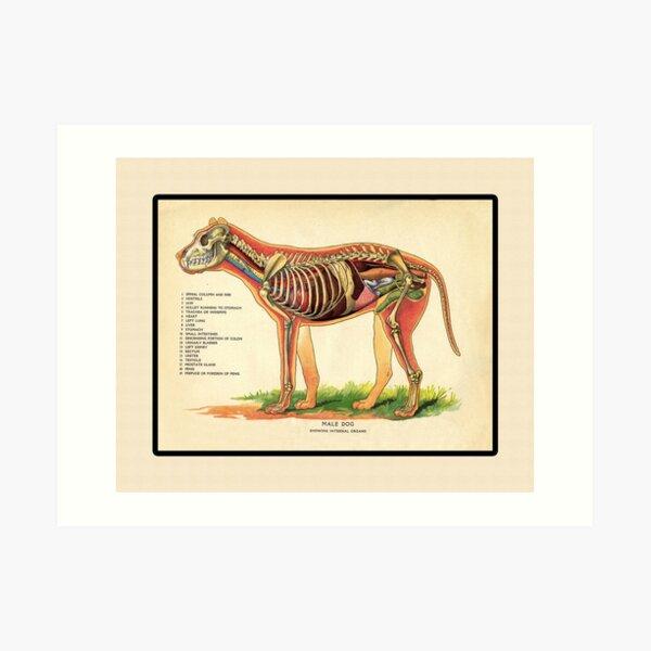 Vintage Veterinary School Dog Anatomy Chart Art Print