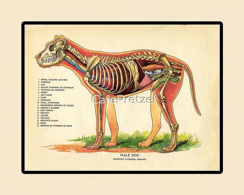 Vintage Veterinary School Dog Anatomy Chart Art Prints By