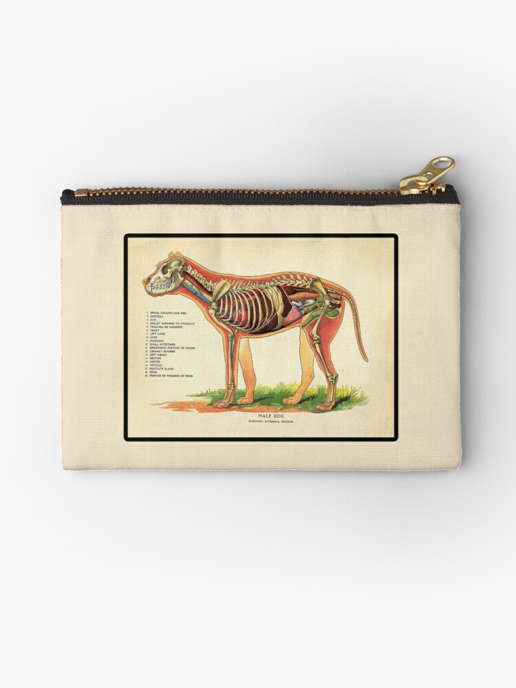 Vintage Veterinary School Dog Anatomy Chart\