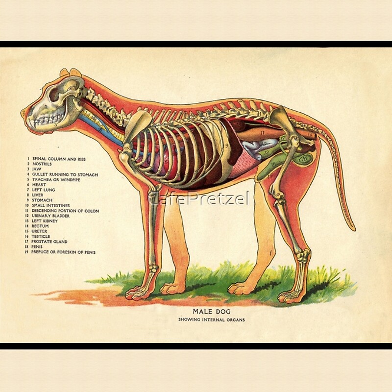 Attractive Canine Lung Anatomy Image Collection - Anatomy And ...