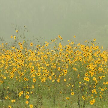 Field of Black-eyed Susan Flowers by JohnZawacki
