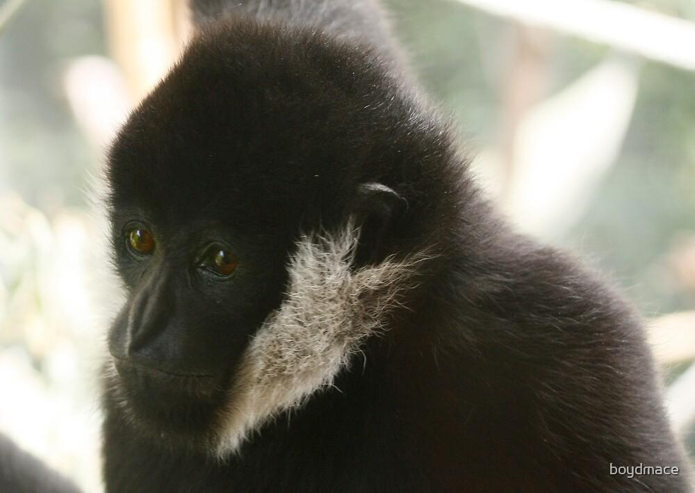 White Cheeked Gibbon by boydmace